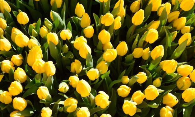 30.000 Tulpen für Düsseldorf
