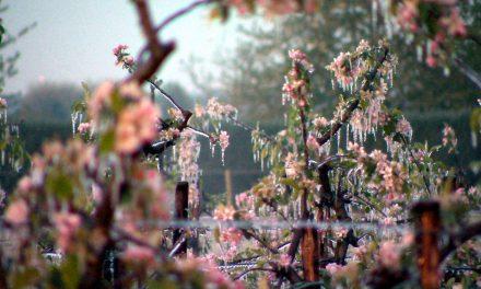 Der Eisdom – Rettung für die Apfelblüten