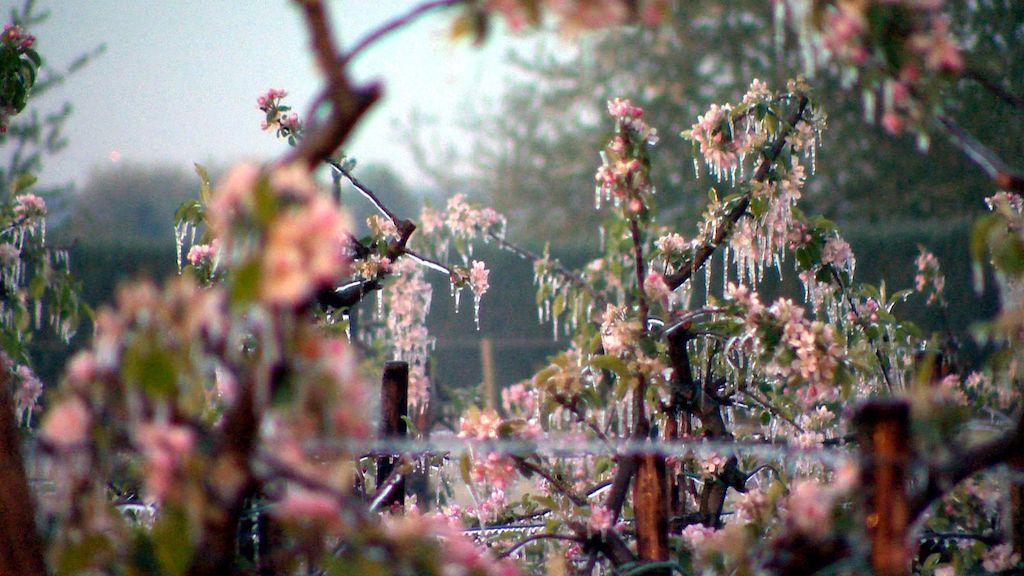 Frotschutzberegnung Apelblüte in den Morgenstunden