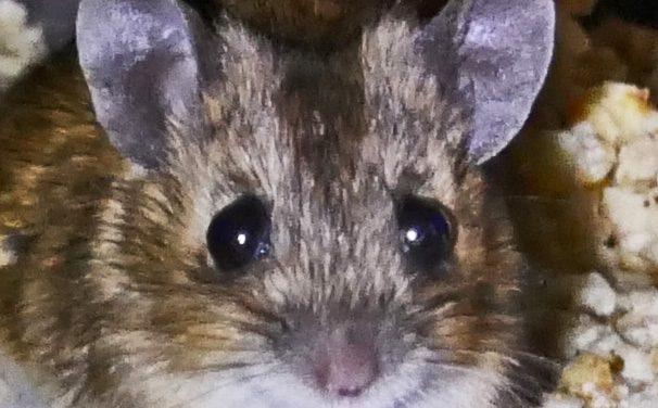 Kalte Rache der Frau Maus…