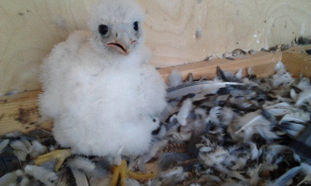 Stadtwerke freuen sich über Falken-Baby