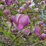 Neue Magnolien für den Corneliusplatz