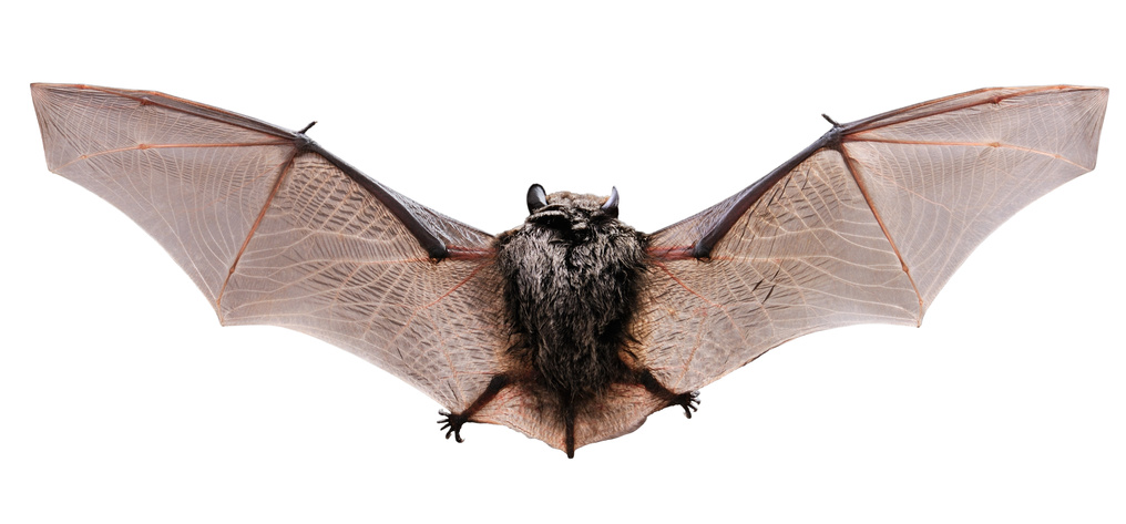 Little brown Bat, view from a back.