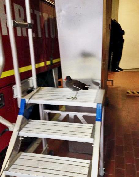 Das Teichhuhn sitzt auf der Leiter, inspiziert den Feuerwehrwagen Foto: Feuerwehr Düsseldorf
