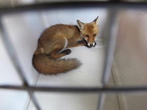 Der kleine Fuchs ruht sich in der Transportbox aus. Foto: FEUERWEHR DÜSSELDORF