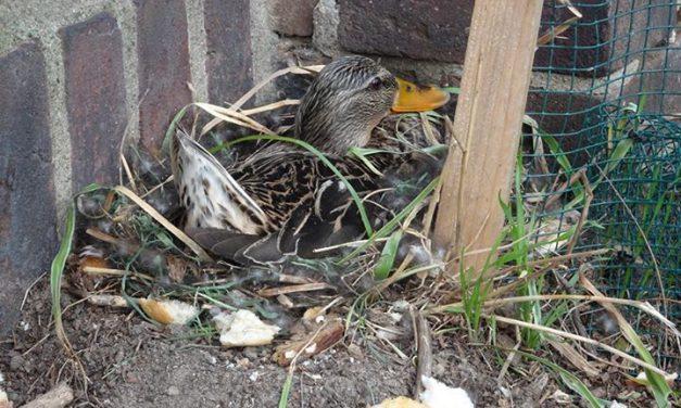 Unfassbar! Nest von Spezial-Ente zerstört