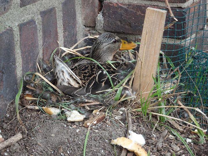 Ente mit Nest