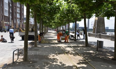 Platanen am Rheinufer gewässert