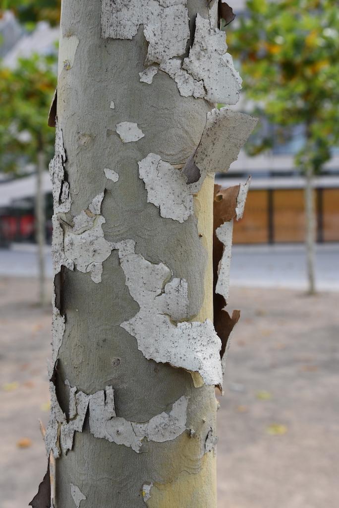 Platanen am Kö Bogen Foto: LOKALBÜRO