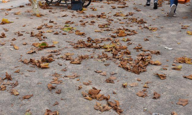Krank? Warum die Kö-Platanen ihre Rinde wegwerfen