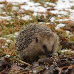 Igeln im Winter effektiv helfen