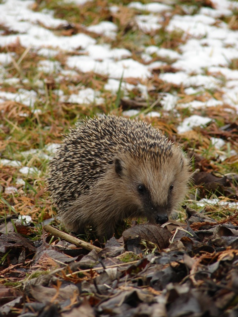 Igel im Winter Foto: Privat