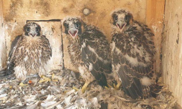 Stadtwerke freuen sich über Falken-Nachwuchs