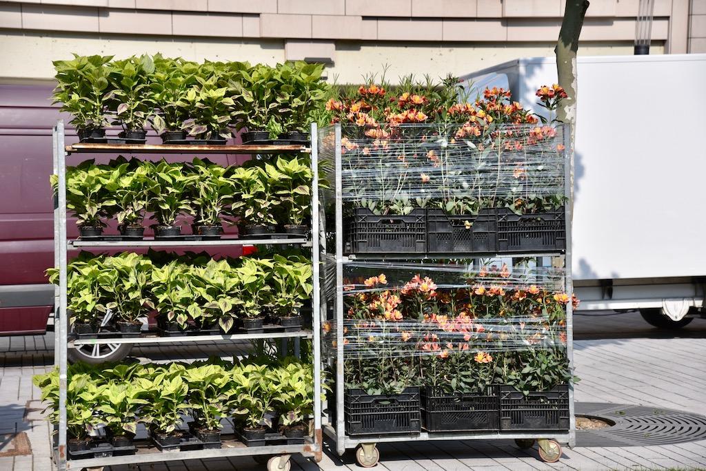 Hier Pflanzen für den Corneliusplatz Foto: LOKALBÜRO