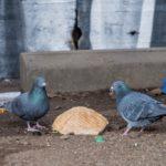 Corona: Leere City – jetzt verhungern die Stadttauben
