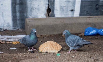 Corona: Leere City — jetzt verhungern die Stadttauben