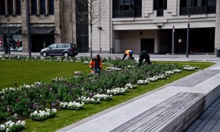 Frühlingsboten für den Corneliusplatz