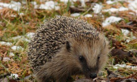 Igel angezündet — Ratinger Polizei sucht Tierquäler