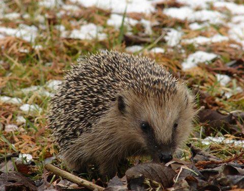 Igel angezündet – Ratinger Polizei sucht Tierquäler