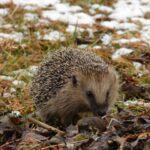 Igeln im Winter effektiv helfen!