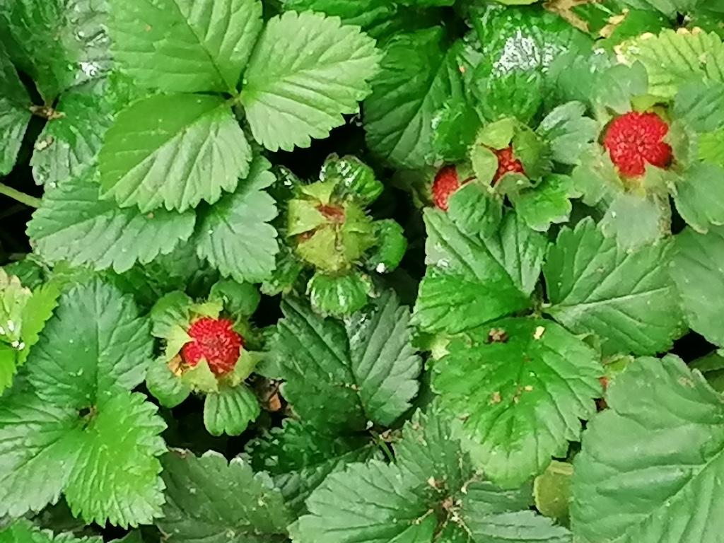 Erdbeeren an der KÖ Foto: LOKALBÜRO